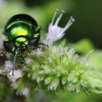 Blaugrüner Blattkäfer von vorne