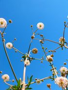 Blauhimmel Blume