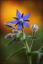 Blauhimmelstern