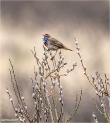 blaukehlchen (luscinia svecica cyanecula)....