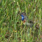 Blaukehlchen Männchen mit Futter