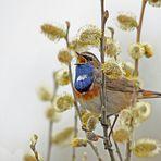 Blaukehlchen singt im Weidengebüsch