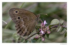 Blaukernauge (Minois dryas)