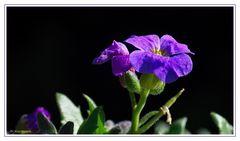 ~ Blaukissenblüte ~