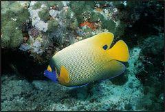 Blaukopf - Kaiserfisch