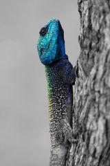 Blaukopf Lizard Portrait  CK 2341
