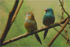 Blaukopfschmetterlingsfink Pärchen