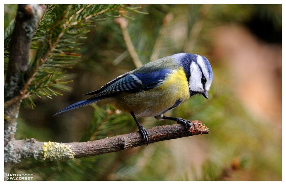 - Blaumeise 1 - ( Parus caerulus )