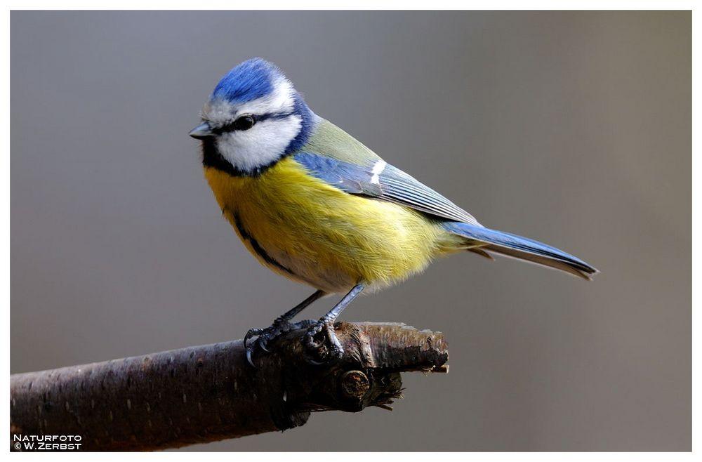- Blaumeise 2 - ( Parus caerruleus )