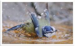 - Blaumeise bei einer totalen Wäsche - ( Parus caeruleus )