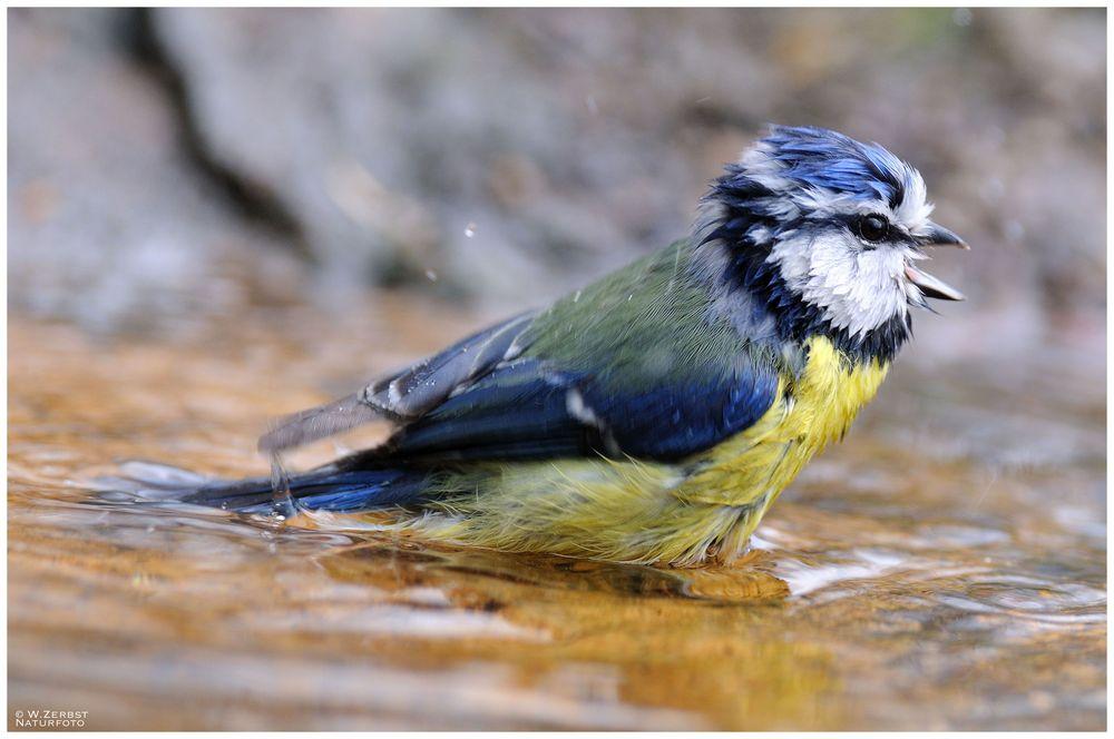 - Blaumeise beim Morgenbad - ( Parus caeruleus )