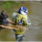 --- Blaumeise beim morgentlichen Bad --- ( Parus Caeruleus )