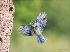 blaumeise (cyanistes caeruleus) ....
