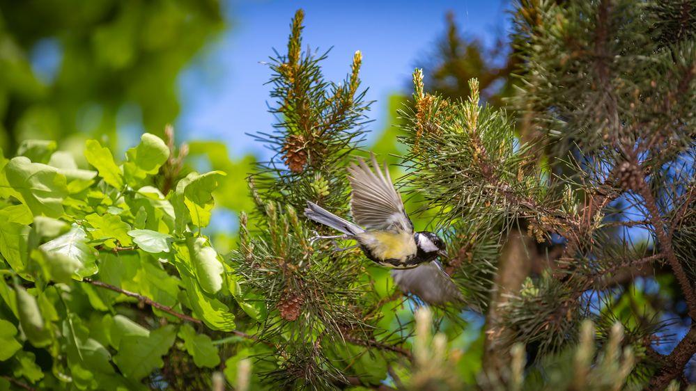 blaumeise im flug foto  bild  tiere wildlife wild