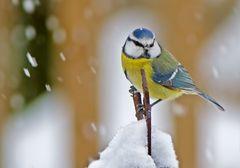Blaumeise im Schnee