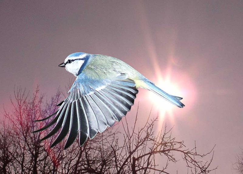 Blaumeise im Sonnenaufgang