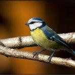 Blaumeise in der Frühlingssonne...