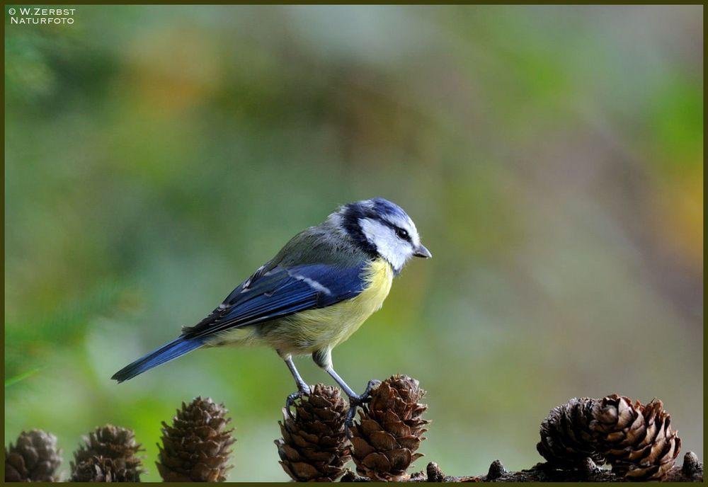- Blaumeise - Nr. 2 ( Parus caeruleus )