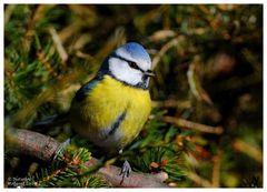 --- Blaumeise --- ( Parurs caeruleus )
