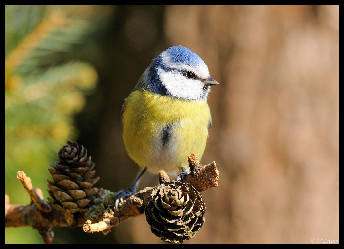 - Blaumeise - ( Parus caeruleus )