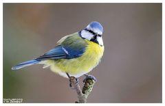 -- Blaumeise -- ( Parus caeruleus )