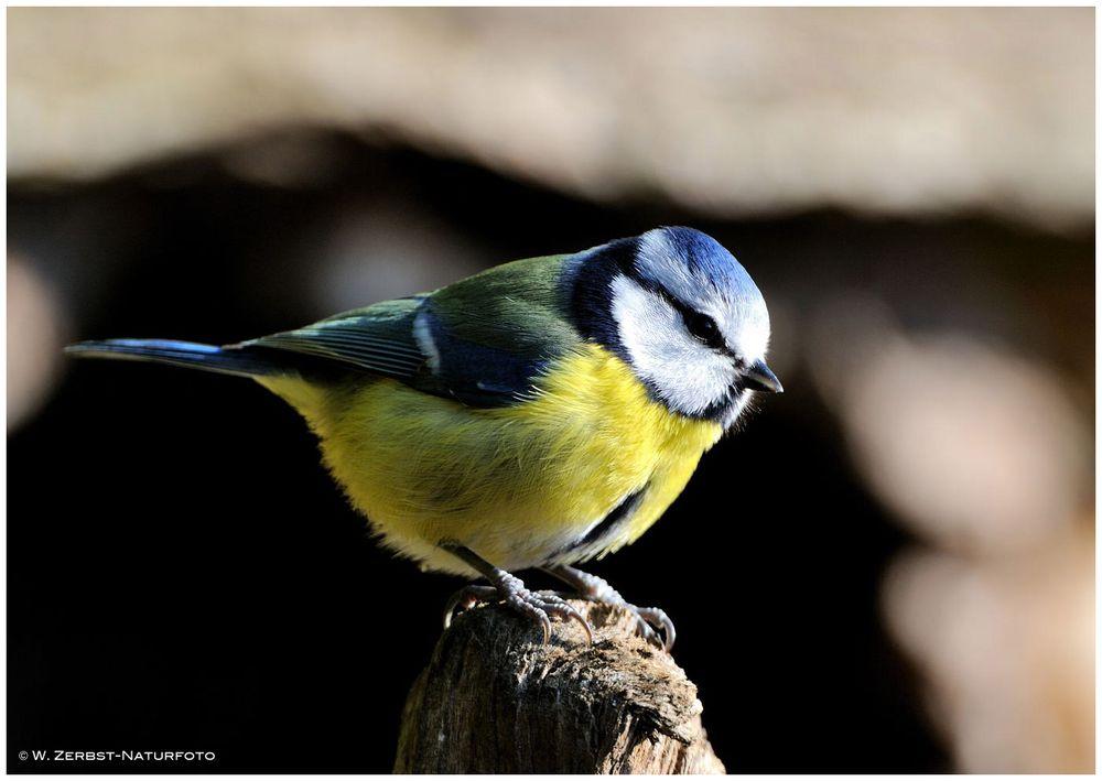 --- Blaumeise -- ( Parus caeruleus )