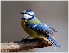 - Blaumeise - (Parus caeruleus)
