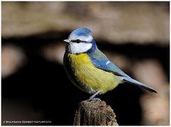 --- Blaumeise --- ( Parus caeruleus )
