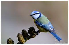 -- Blaumeise -- ( Parus caerulus )