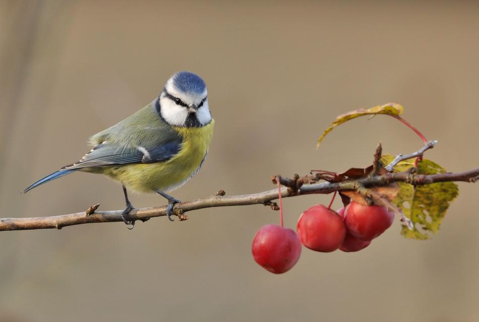Blaumeise und Äpfelchen