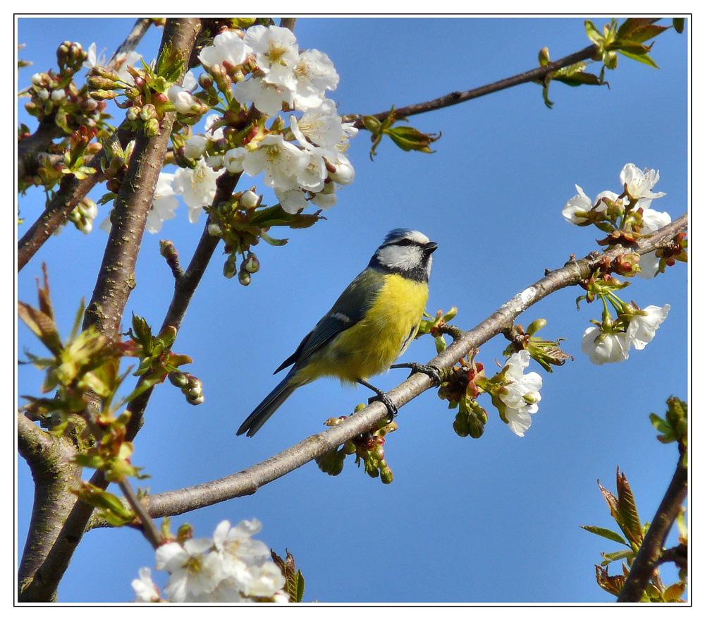 Blaumeise und Kirschblüten