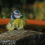 Blaumeisen-Badetag