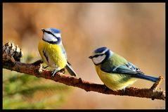- Blaumeisen - ( Parus caaeruleus )