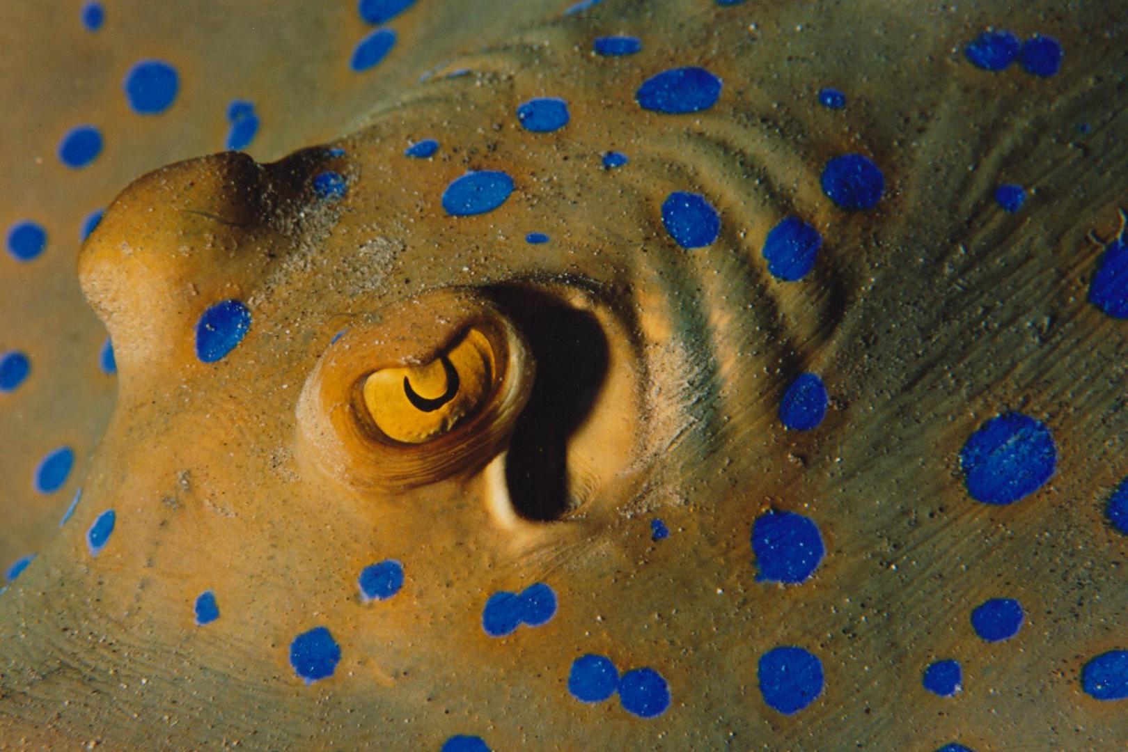 Blaupunktrochen