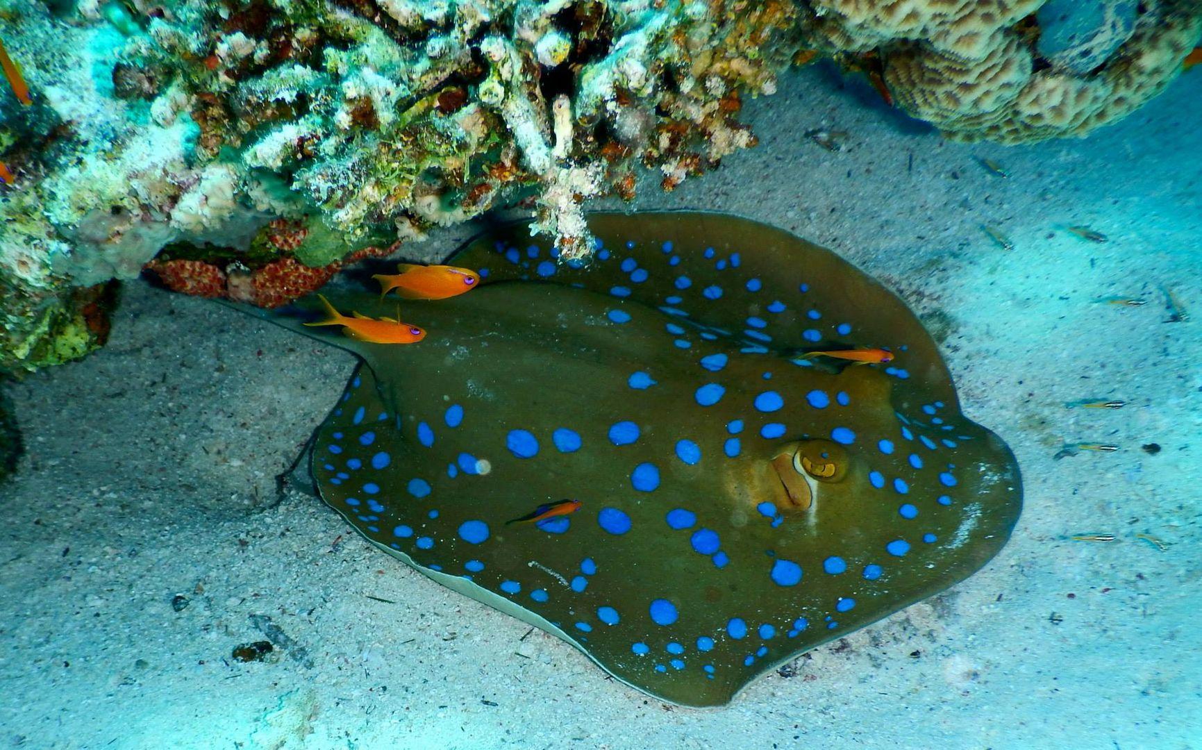 Blaupunktrochen im Roten Meer