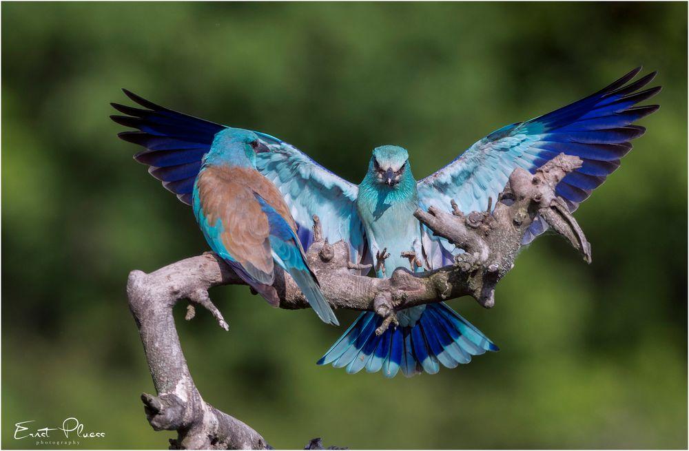 Blauracke beim Anflug
