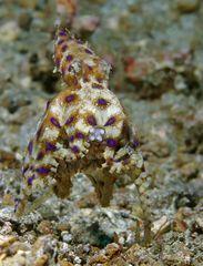 Blauring-Oktopus mit Eiern