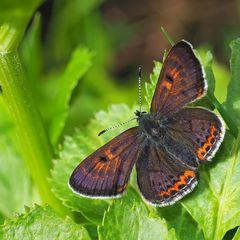 Blauschillernder Feuerfalter, Männchen (Lycaena helle)
