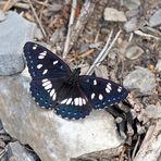 Blauschwarzer Eisvogel (Limenitis reducta) - Le Sylvain azuré.