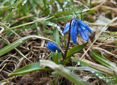 Blausternchen (Scilla)
