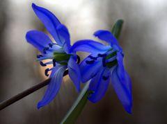 Blausternchen2