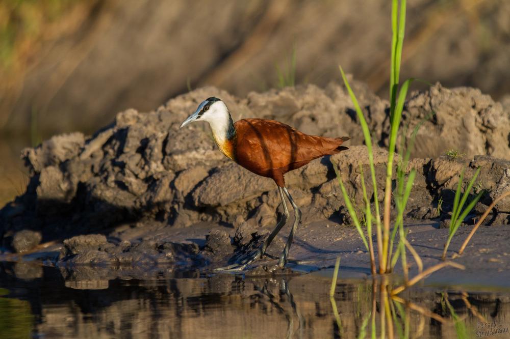 Blaustirn-Blatthühnchen (African Jacana)