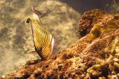 Blaustreifen Doktorfisch (Acanthurus lineatus)