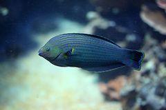 Blaustreifen Doktorfisch