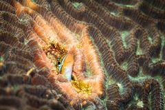 Blaustreifen-Säbelzahnschleimfisch