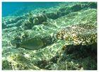 Blaustreifendoktorfisch