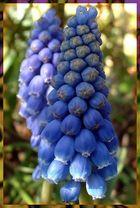Blauträubelchen