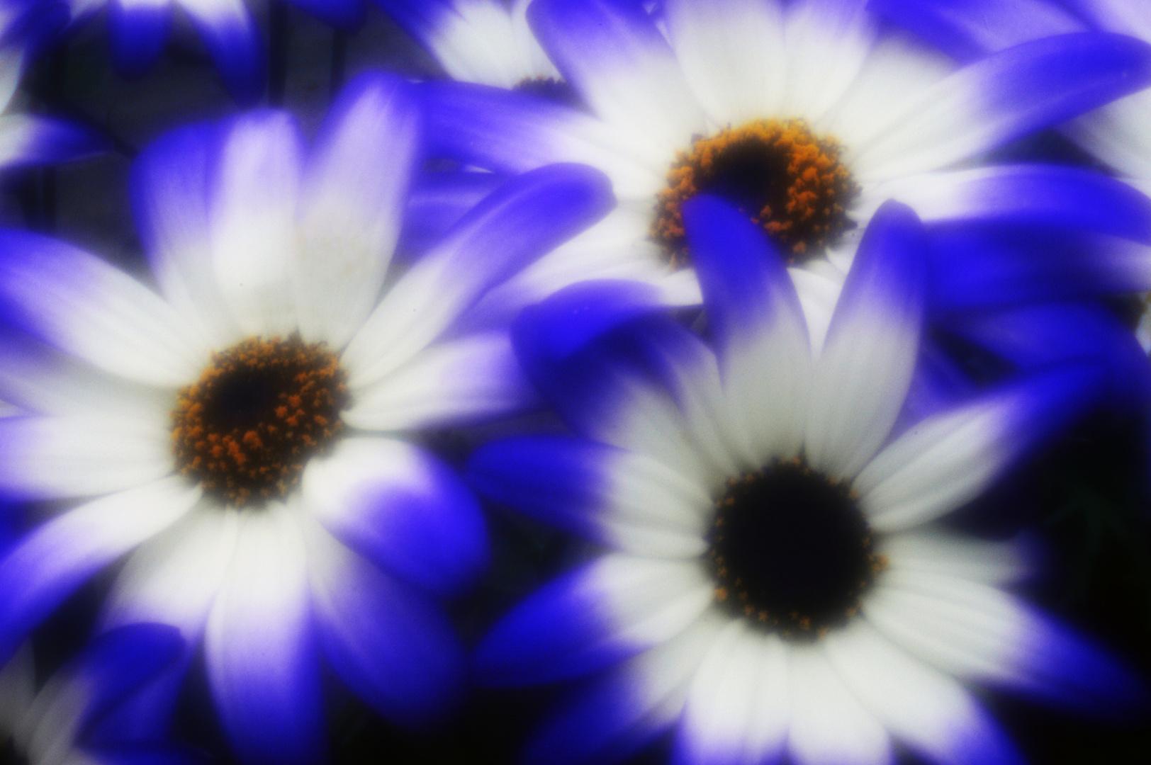 blauweiss - skink pinhole pancake