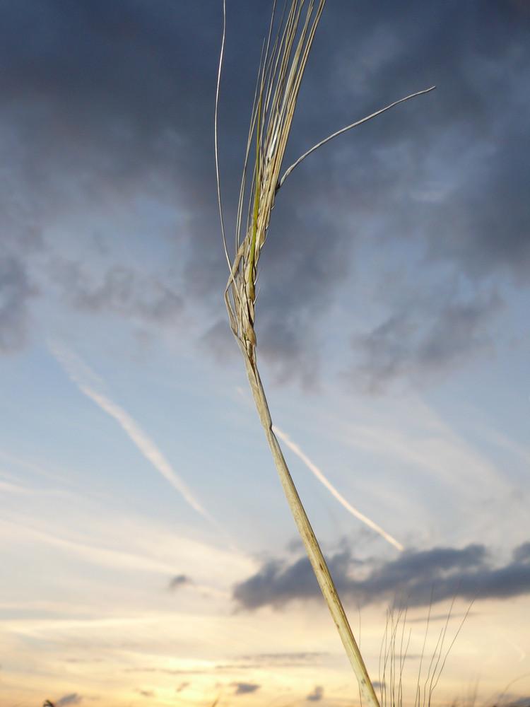 blé esseulé?