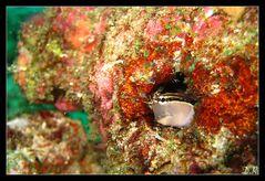 Bleniidae - Schleimfisch